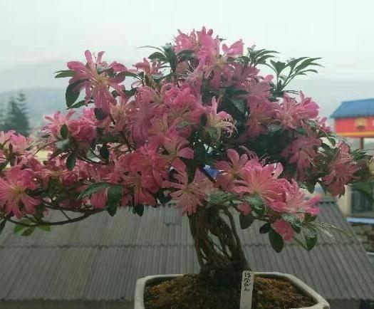 云南省昆明市呈貢區杜鵑苗 日本進口皋月杜鵑袋苗,花瓶夏鵑,名貴稀有品種