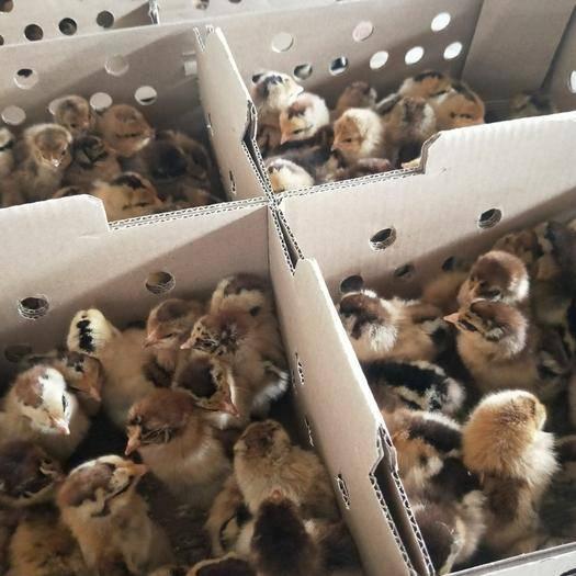 廣西壯族自治區南寧市西鄉塘區 瑤雞苗,成活率高,品種優良,嫩口,包疫苗,包成活到家