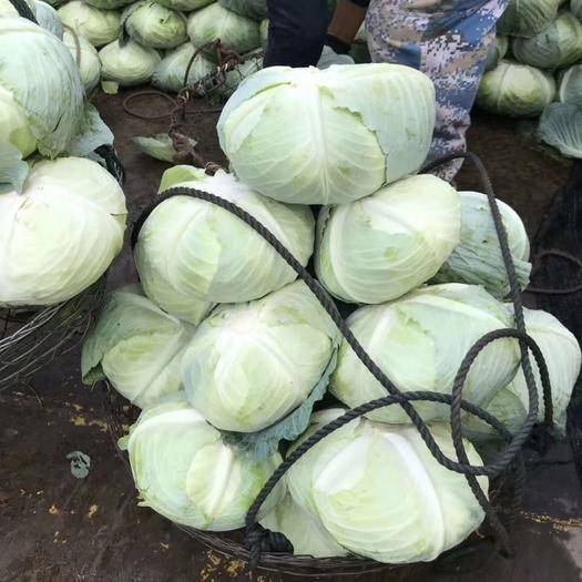 湖南省岳陽市岳陽縣奧奇娜甘藍 奧奇娜大量上市