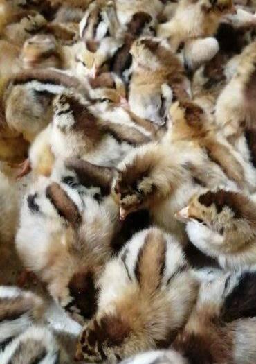廣東省廣州市白云區 麻雞 清遠麻2公 麻雞苗