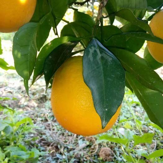 湖南省湘西土家族苗族自治州保靖縣 紐荷爾臍橙下樹果。