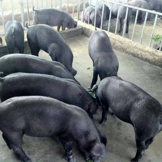 江蘇省宿遷市沭陽縣 二元母豬,蘇太母豬,太湖母豬