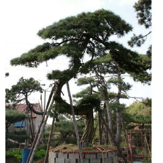 山東省泰安市泰山區造型松 苗圃主營泰山迎客松根系旺盛造型黑松油松各種綠化易成活景觀松