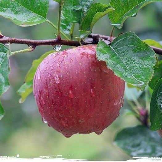 浙江省臺州市溫嶺市 合作社代銷四川大涼山鹽源野生丑蘋果,蘋果質量保證,