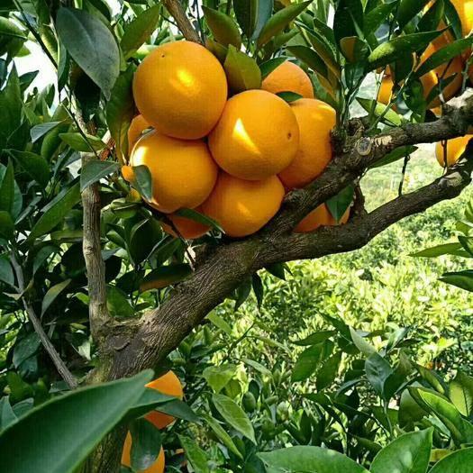 湖北省恩施土家族苗族自治州巴東縣九月紅臍橙 ??雷家坪臍橙不僅外表光潔鮮艷,肉質更是滑嫩清甜。