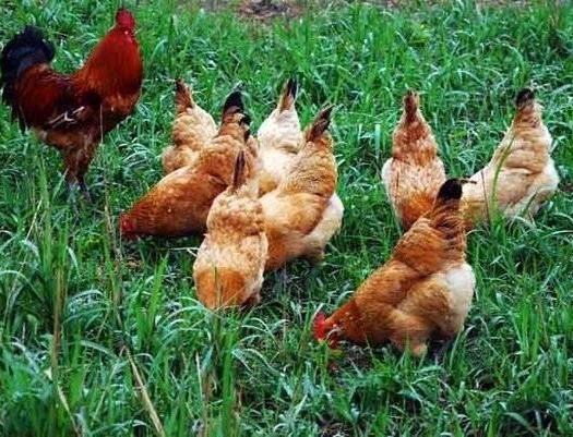 甘肅省隴南市禮縣 農家土雞,生長周期長達200多天,不吃飼料。。。