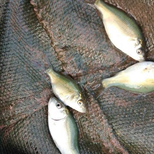 云南省昭通市昭陽區裸鯉 優質品種,生長速度快,很受市場歡迎