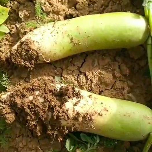 河南省三門峽市澠池縣青頭蘿卜 1.5~2斤