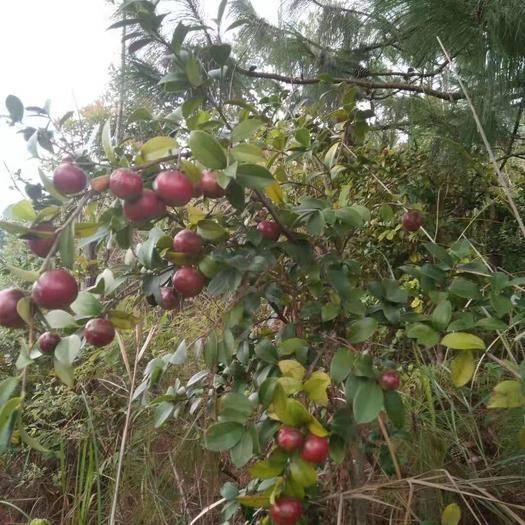 云南省紅河哈尼族彝族自治州石屏縣 野生油茶籽