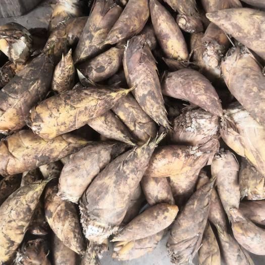 重慶市沙坪壩區 冬筍上市了楠竹筍 新鮮竹筍