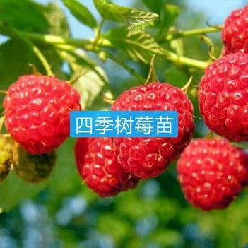 四季樹莓苗 基地直銷 假一賠十 簽合同保證品種