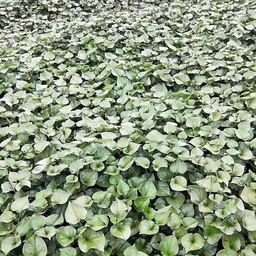 四川省眉山市東坡區 大量出售藥用魚腥草鮮貨