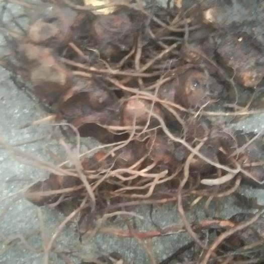 湖北省宜昌市夷陵區野生八角 優質品種你理想的選擇