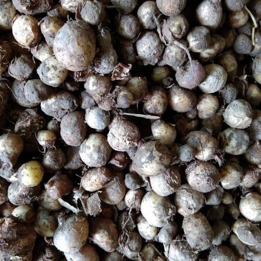 甘肅省隴南市西和縣旱半夏 好貨從種子開始