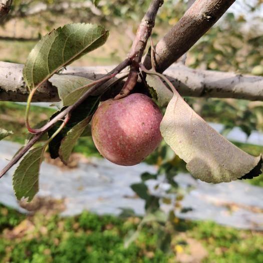 重慶市開州區 冰糖心蘋果