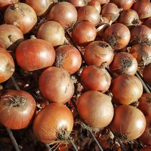 吉林省長春市農安縣 供應洋蔥