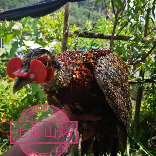 云南省文山壯族苗族自治州西疇縣 七彩山雞,珍珠雞,貴妃雞均有