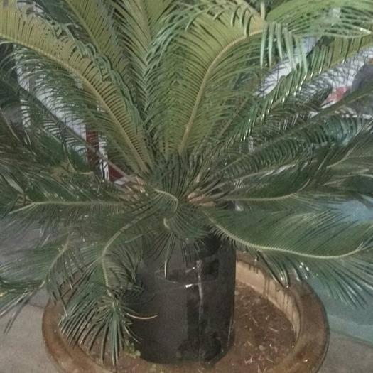 陕西省宝鸡市凤翔县福建苏铁 自家两裸大铁树,不知什么品种,太大难保管,有需要的联乐