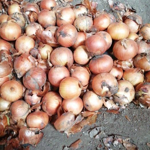 吉林省長春市榆樹市圓蔥(卡木一)洋蔥 5到8的卡木一