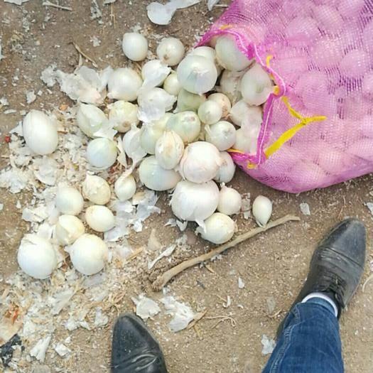 新疆維吾爾自治區阿克蘇地區阿克蘇市 白皮洋蔥