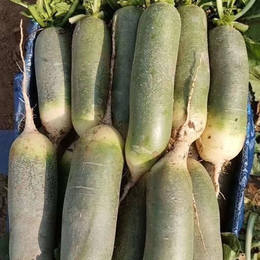 山东省泰安市肥城市 箱装精品水果萝卜大量出售,价格便宜,货源充足!全国接单!