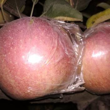 長富2號蘋果 紅富士長富二號大量上市