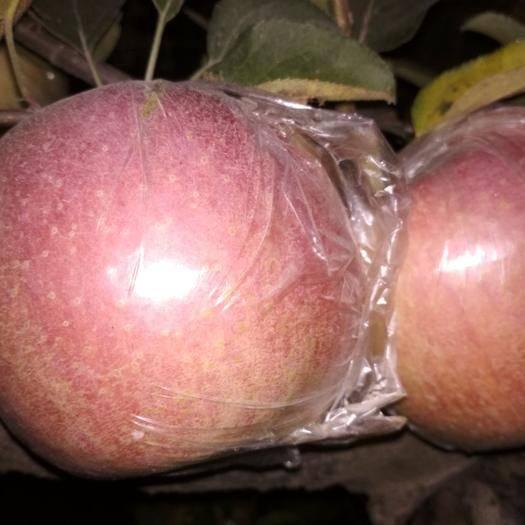 安徽省宿州市蕭縣長富2號蘋果 紅富士長富二號大量上市