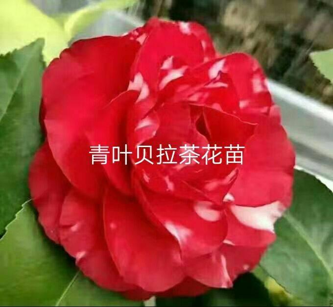 青叶贝拉茶花苗图片