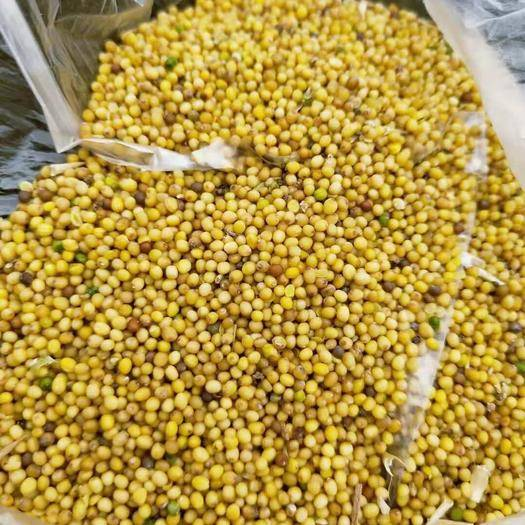 內蒙古自治區烏蘭察布市四子王旗 油菜籽,產地直發,大量供應,誠信經營