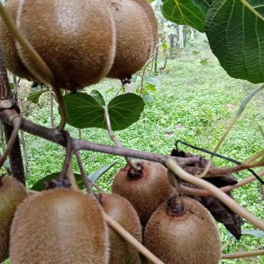 陕西省西安市周至县 猕猴桃又名奇异果,营养丰富酸甜可口