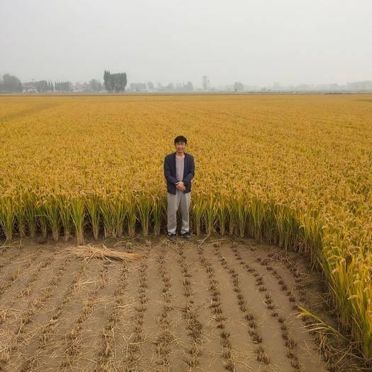 河南省新鄉市原陽縣粳稻谷 優質直播水稻,不摻雜。