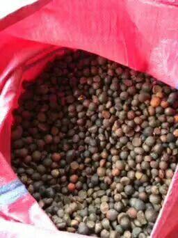 廣西壯族自治區柳州市三江侗族自治縣 大量出售油茶籽 本地老樹茶籽