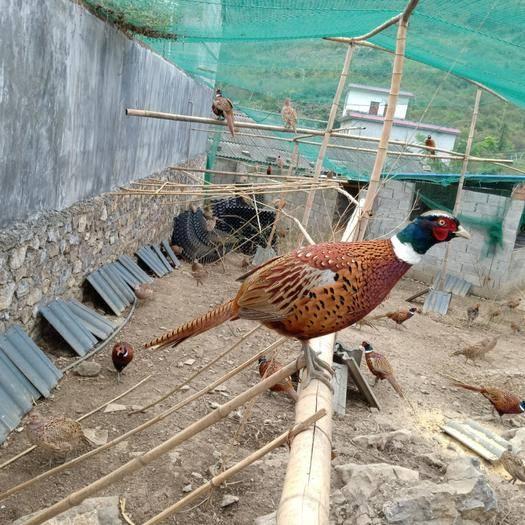 貴州省黔西南布依族苗族自治州興義市七彩山雞 自家散養雞 無飼料添加 食譜玉米 米糠 草和菜葉