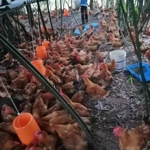重慶市長壽區 肉雞