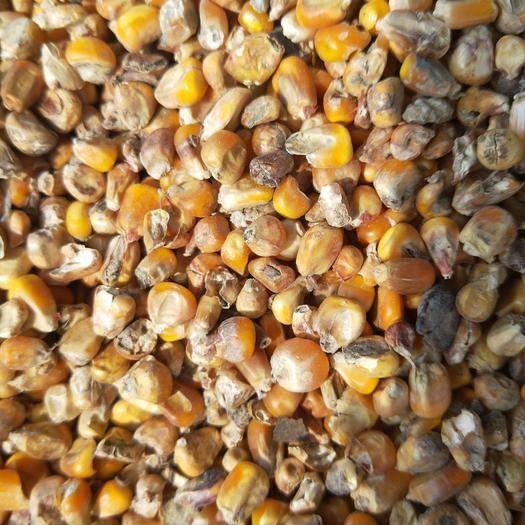 河南省商丘市夏邑縣玉米干糧 霉變玉米