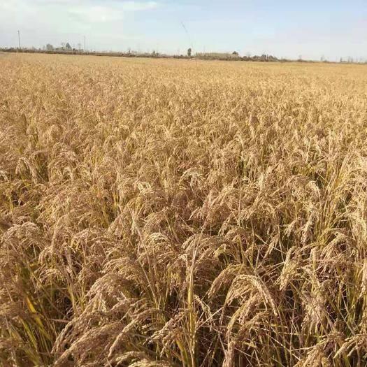 吉林省松原市前郭爾羅斯蒙古族自治縣東北大米 一等品 晚稻 秈米