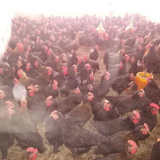 湖北省黃岡市武穴市肉雞 3-4斤 母