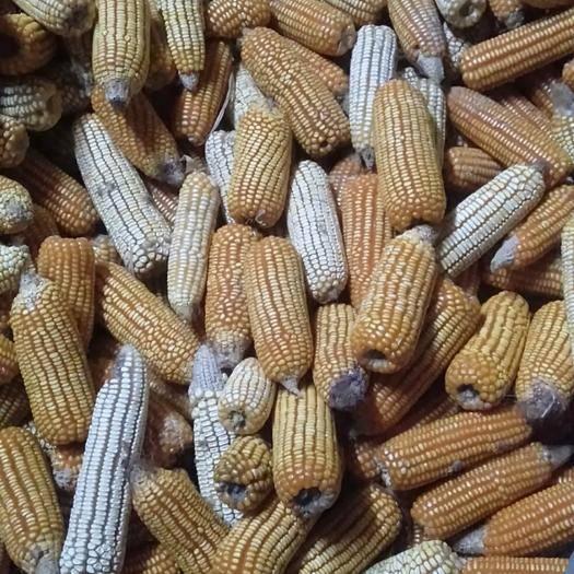 廣西壯族自治區河池市南丹縣玉米干糧 自家種的玉米