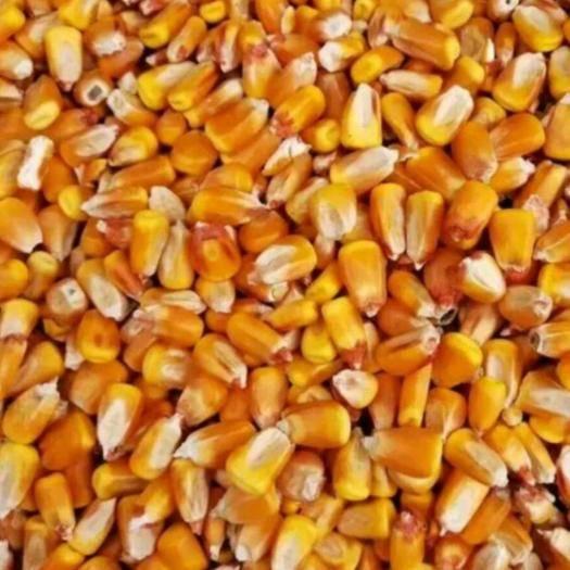遼寧省沈陽市渾南區玉米干糧 18年二等玉米 6毛錢一斤 100萬噸