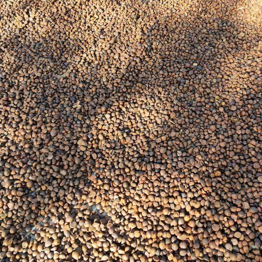 湖北省荊門市鐘祥市 長壽鄉鐘祥油茶籽(六、七十年代老樹,干貨