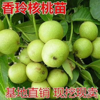香玲核桃苗适合南北方种植