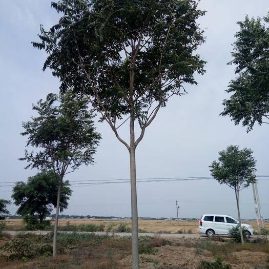 河北省滄州市獻縣老式白蠟 2.5~3米