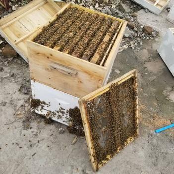 意大利蜂 越冬蜂,150一斤,一斤带王发货