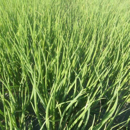 貴州省黔東南苗族侗族自治州鎮遠縣 鎮遠小蔥正在發售