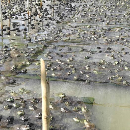 廣西壯族自治區玉林市福綿區 出售牛蛙