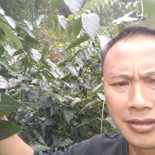 貴州省黔東南苗族侗族自治州天柱縣 滿山的鉤藤,就是金山銀山
