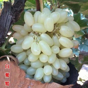 白葡萄苗适合南北方种植