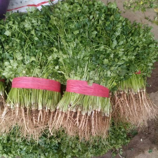 山東省聊城市高唐縣 農戶直銷中葉鐵桿青香菜小葉香菜露地種植40厘米以上毛菜