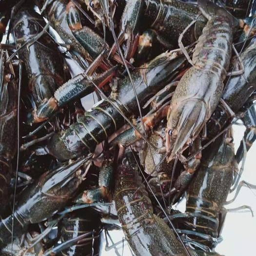 湖北省荊州市公安縣 湖北優質澳洲淡水小龍蝦4000斤 一兩到二兩五新鮮現貨出售