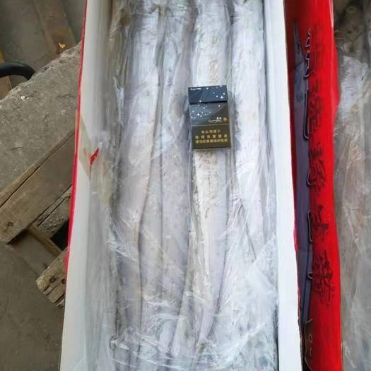 山東省日照市嵐山區野生帶魚 野生刀魚,65元一箱